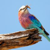 Lilac-breasted Roller, Okavango Delta