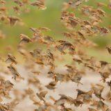 Red-billed Quelea, Central Kalahari Game Reserve