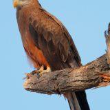 Yellow-billed Kite, Central Kalahari Game Reserve