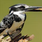 Pied Kingfisher, Okavango Delta