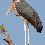 Marabou Stork, Okavango Delta