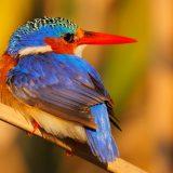 Malachite Kingfisher, Okavango Delta